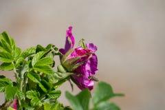 Hibiskus-Blüte mit Biene Lizenzfreies Stockfoto