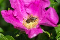 Hibiskus-Blüte mit Biene Lizenzfreie Stockfotos