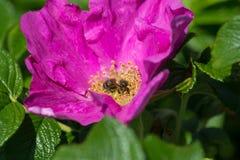 Hibiskus-Blüte mit Biene Stockfoto