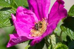 Hibiskus-Blüte mit Biene Lizenzfreies Stockbild