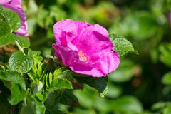 Hibiskus blomning med biet arkivfoton