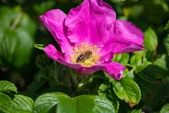 Hibiskus blossom with bee. On a very sunny day in may in south germany you see flower hibiskus with strong lightened color impression with bees nourishing for Stock Photo