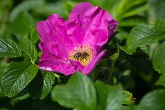 Hibiskus blossom with bee. On a very sunny day in may in south germany you see flower hibiskus with strong lightened color impression with bees nourishing for Royalty Free Stock Photos