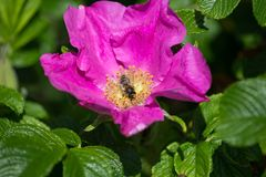Hibiskus blossom with bee. On a very sunny day in may in south germany you see flower hibiskus with strong lightened color impression with bees nourishing for Stock Image