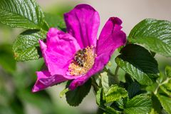 Hibiskus blossom with bee. On a very sunny day in may in south germany you see flower hibiskus with strong lightened color impression with bees nourishing for Royalty Free Stock Photography