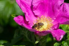 Hibiskus blossom with bee. On a very sunny day in may in south germany you see flower hibiskus with strong lightened color impression with bees nourishing for Royalty Free Stock Image