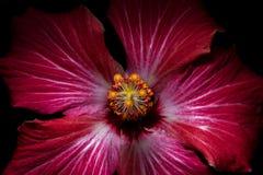 Hibiskus - Cucarda Arkivbild