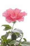 Hibiskus flower. Isolated over white background Stock Photo