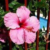 Hibiskus flower. Pink Hibiskus on pool background Stock Photography