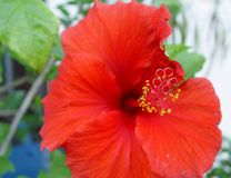 Hibiskus Flowers 1. I have made this picture in my Garden Royalty Free Stock Image