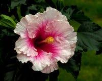 Hibiskus Hawaiirose Rosa Adonicus Arkivfoton