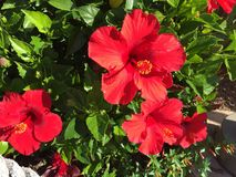 Hibiskus i San Diego, Kalifornien Arkivbild