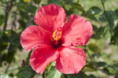 Hibiskus i Thailand royaltyfri fotografi