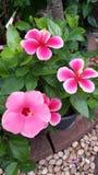 Hibiskus i trädgård Royaltyfria Bilder