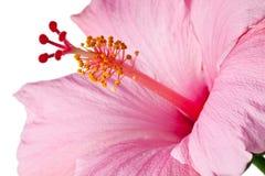 hibiskus isolerad pink Arkivbild