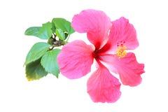 hibiskus isolerad rosa white Arkivfoto