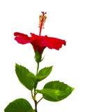 hibiskus Karkade abstrakt vektor för blommahibiskusillustration Hibiskusblomma på Fotografering för Bildbyråer