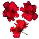 hibiskus Karkade abstrakt vektor för blommahibiskusillustration Hibiskusblomma som isoleras på Royaltyfria Bilder