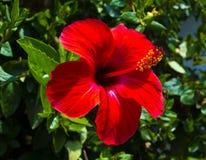 hibiskus Karkade abstrakt vektor för blommahibiskusillustration Röd hibiskusblomma på en gre Royaltyfria Bilder
