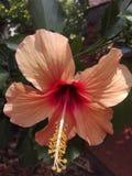 hibiskus royaltyfri bild