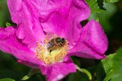Hibiskus okwitnięcie z pszczołą Obrazy Royalty Free