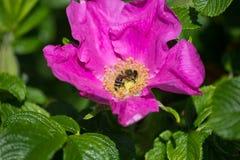 Hibiskus okwitnięcie z pszczołą Zdjęcie Royalty Free