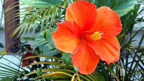 Hibiskus. Is a plant species of the mallow family Malvaceae with about 200-675 species. It is mainly transmitted in the tropical and subtropical regions of the Stock Photos