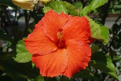 Hibiskus Roja Royaltyfri Fotografi