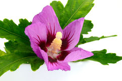 Hibiskus (ros-malva) Arkivfoto