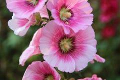 hibiskus rosa Royaltyfri Fotografi