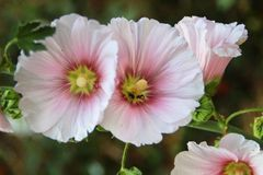 hibiskus rosa Arkivfoton