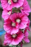 hibiskus rosa Arkivbild