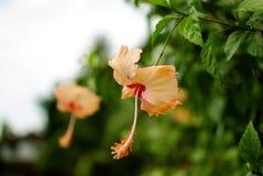 Hibiskus rosa-sinensis Arkivfoto