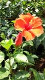 Hibiskus rosa-sinensis Fotografering för Bildbyråer