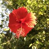 Hibiskus Sunkissed Royaltyfria Bilder