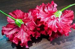 hibiskus två Royaltyfria Bilder