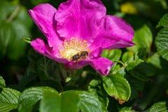 Hibiskusbloesem met bij Stock Foto