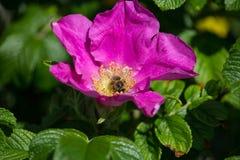Hibiskusbloesem met bij Royalty-vrije Stock Afbeeldingen