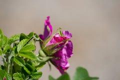 Hibiskusbloesem met bij Royalty-vrije Stock Foto