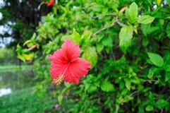 Hibiskusblomma Royaltyfria Bilder