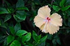 Hibiskusblomma Royaltyfri Fotografi