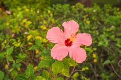 Hibiskusblomma Royaltyfria Foton