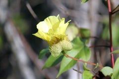 Hibiskusblomma (Galapagos, Ecuador) Royaltyfria Foton