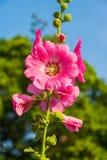 Hibiskusblommablom i morgonen royaltyfri fotografi