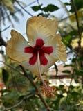 Hibiskusblommanärbild Royaltyfria Foton