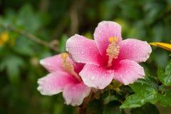 Hibiskusblomman Royaltyfri Fotografi