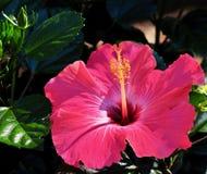 Hibiskusblomman för varma rosa färger med gräsplan slår ut och sidor Arkivfoton