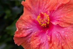 Hibiskusblommasidor som är våta vid regnvattnet arkivfoto