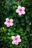 Hibiskusblommor Royaltyfri Fotografi