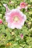 Hibiskusblommor Royaltyfria Bilder